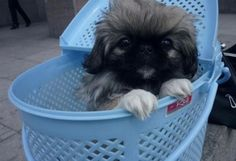Very interesting post: Pekingese Puppies - 30 Pictures. Also dompiсt.сom lot of interesting things on Funny Dog. Happy Dog Meme, Happy Dogs, Cute Puppy Pictures, Funny Dog Pictures, Funny Dogs, Funny Animals, Cute Animals, Happy Dog Cleveland, Happy Dog Grooming