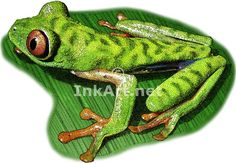 Parachuting Red-Eyed Leaf Frog (Agalychnis saltator) Line Art and Full Color Illustrations Parachuting, Frog Art, Illustration Art, Illustrations, Stock Art, Lizards, Snakes, Colour Images, Amphibians