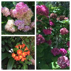 #gardens #blooming #flowers #hydrangeas