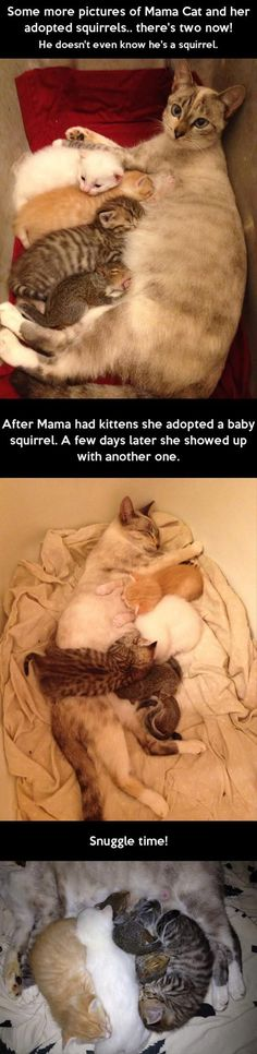 Mama Cat Adopts Squirrels cute animals cat cats adorable animal kittens pets kitten squirrels squirrel funny animals heart warming animal odd couples