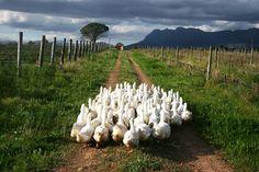 Winelands #SouthAfrica