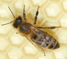 How to choose a bee breed for bee keeping.  Maybe some day?