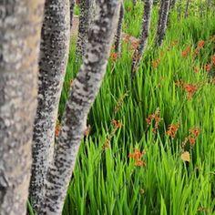 Chasmanthe flowering in the poplar grove. Sculpture Garden, Winter, Instagram, Winter Time, Winter Fashion