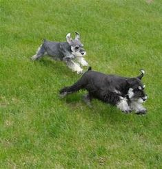 Schnauzer happy mothers day - Yahoo Image Search Results