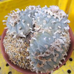 lophophora williamsii F. Cristata