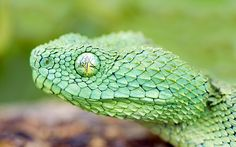 year of the snake vii cute macro hd nature wildlife wild green predators snakes photography animals reptiles Beautiful Snakes, Animals Beautiful, Pretty Snakes, African Bush Viper, Windows 10, Snake Wallpaper, Apple Wallpaper, Snake Images, Snake Photos