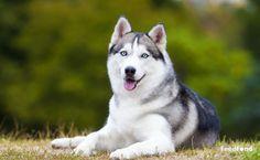 Top 10 Most Beautiful Dog Breeds List In The World - Animal Home Garden Alaskan Husky, Le Husky, Siberian Husky Dog, Husky Mix, Dog Breeds List, Cute Dogs Breeds, Charles Spaniel, Cavalier King Charles, Most Beautiful Dog Breeds