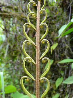 'Hearts' plant of Ecuador