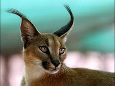 Caracal Top Cat Animals And Pets, Baby Animals, Funny Animals, Cute Animals, Wild Animals, Desert Animals, Big Cats, Cats And Kittens, Cute Cats