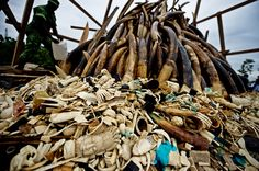 """Stockpiled illegal ivory—tusks as well as """"decorative"""" objects (ugh)—getting doused with gazoline and ready to be burned. Libreville, Gabon, June 27, 2012. Photo: WWF"""