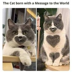 Funny Cute Cats, Cute Funny Animals, Silly Cats, Cute Cat Gif, Cool Cats, Funny Dogs, Kitten Love, Cat Love, Frases