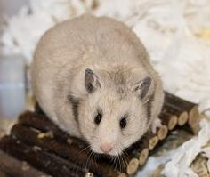 Sepia Grey Syrian Hamster | #MadAboutHamsters
