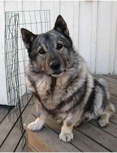 norwegian elkhound/corgi mix...