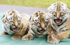 Baby siberian tigers