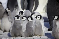 A group of young penguins play together on the ice in Antarctica