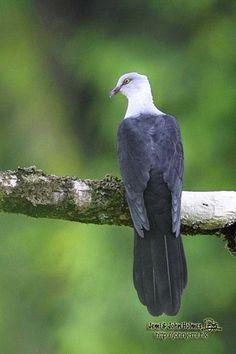 Reinwardtoena browni – paloma rabuda de Nueva Bretaña