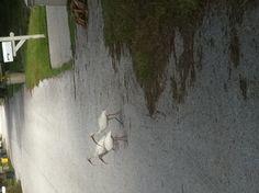 three white ibis