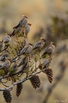 Branches full of Female Cardinals.... These look like Waxwings to me!?