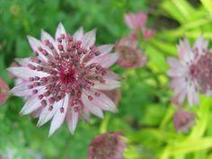 Masterwort Blooming