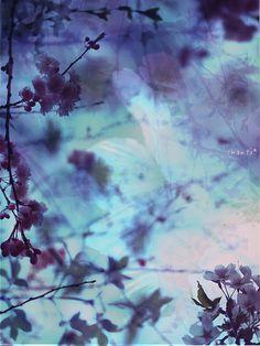 purple Japanese blossoms