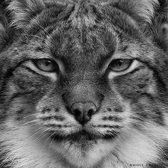 LYNX EYES by Wolf Ademeit