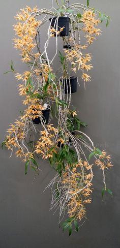 Dendrobium heterocarpum (Asia)//clinton lewis