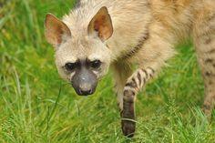 Aardwolf | Flickr - Photo Sharing!