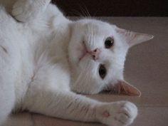 Lying White Cat
