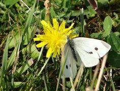 Large White (Cabbage Butterfly) (Cabbage White) / Pieris brassicae / Stor kålsommerfugl. Storøykilen, Akershus, Norway, Sept. 17. 2014