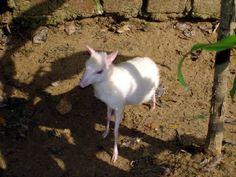 An albino mouse deer (In Yangon Zoological Gardens)