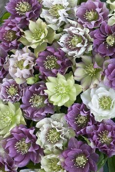 ~Shade plants~Hellebore Helleborus Sp Flowers by VisionsPictures~~ Flowers For You, My Flower, Flower Power, Beautiful Flowers, Shade Flowers, Shade Plants, Green Flowers, Lenten Rose, Winter Plants