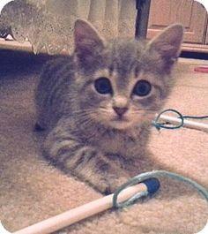 Prattville, AL - Domestic Shorthair. Meet Trixie 22195, a kitten for adoption. http://www.adoptapet.com/pet/12751202-prattville-alabama-kitten