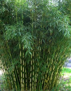 Fargesia robusta 'Campbell'.  12-15 ft.   Fargesia robusta is a  good choice for a clumping bamboo that can create a narrow screen, being taller, more upright, and more robust than Fargesia nitida and Fargesia murielae