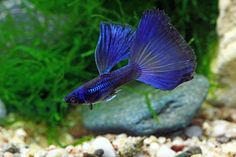 moscow blue Best Aquarium Fish, Betta Aquarium, Tropical Aquarium, Tropical Fish, Guppy, Tropical Freshwater Fish, Freshwater Aquarium Fish, Tetra Fish, Cool Fish