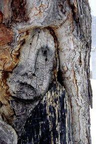 Sad tree face in Canada
