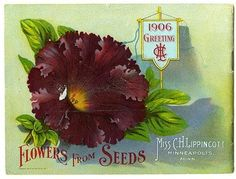 """A deep-colored ruffled Grandiflora Petunia is pictured on the back cover of Carrie Lippincott's 1906 catalog.  Carrie Lippincott, the self-proclaimed """"pioneer seedswoman"""" and """"first woman in the flower seed industry"""" established her mail-order flower seed business in Minneapolis in 1891. She cultivated women customers by sending out smaller 5 inch by 7 inch catalogs with colorful covers during her early years of business.  The covers often featured children."""