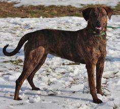 Plott Hound mix F 1 year named Athena in Front Royal, VA @ Humane Society of Warren County VA 540-635-4734 info@humanesocietywarrencounty.org