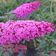 Buddleja davidii 'Pink Delight'