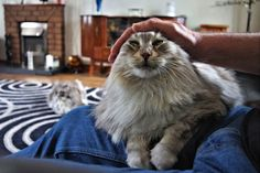 My pretty Maine Coon called Bibi very much enjoying lots of pets! Lol