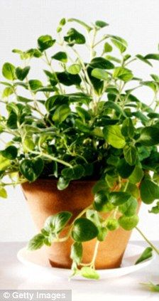 BEST FOR... THRUSH     OREGANO: This contains the powerful antifungal agents thymol and carvacrol. A study at Georgetown University Medical Centre in Washington showed that carvacrol inhibited the growth of the fungus Candida albicans (which causes thrush) better than a common antifungal medication.