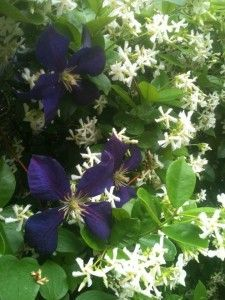 Confederate jasmine, shown here with a clematis growing through it...