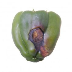 Bottom Of Pepper Is Rotting: Fixing Blossom End Rot On Peppers - When a pepper's bottom rots, it can be frustrating to a gardener. When bottom rot occurs, it is typically caused by pepper blossom end rot. Blossom end rot on peppers is fixable though, and this article can help.