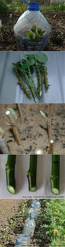 Размножение черенками кустарников.