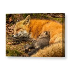 Peaceful Dreams - This mother fox fed and groomed all her kits who then took off back in to the den except for this one kit who curled up with his mother and they both fell asleep Nature Animals, Animals And Pets, Wild Animals, Beautiful Creatures, Animals Beautiful, Fuchs Baby, Fantastic Fox, Pet Fox, Fox Art