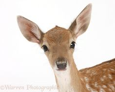 Fallow Deer fawn photo