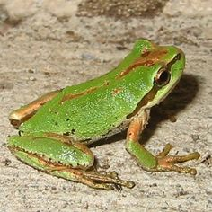The Pacific Tree Frog is one of the smallest amphibians in the West coast of North America. It belongs to the Hylidae family. This amphibian can easily be Amphibians, Mammals, Different Types Of Frogs, Frog Eggs, Frog Pictures, Wild Forest, Washington Usa