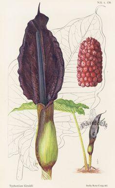 William Curtis Botanical Prints from Curtis Botanical Magazine 1948 and After  Typhonium Giraldii
