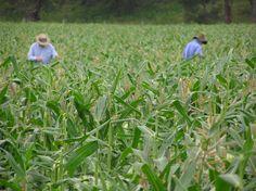 De tasseling the corn