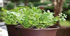 Cilantro is one of the Most Effective Detoxifiers of Heavy Metals: How to Grow Cilantro Easily Indoors