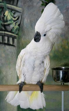 A #Cockatoo